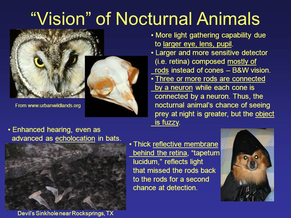 Vision of Nocturnal Animals From www.urbanwildlands.org More light gathering capability due to larger eye, lens, pupil.