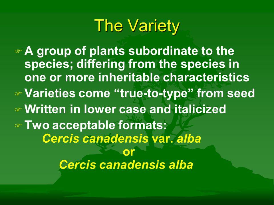 The Variety Cercis canadensisCercis canadensis var. alba