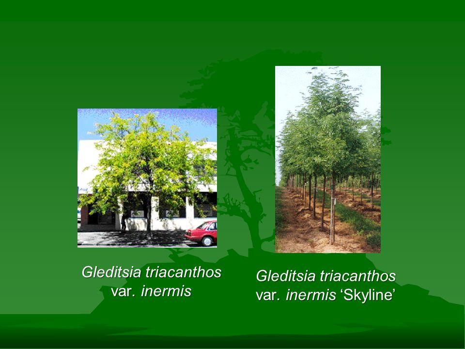 Gleditsia triacanthos var. inermis Gleditsia triacanthos var. inermis 'Skyline'