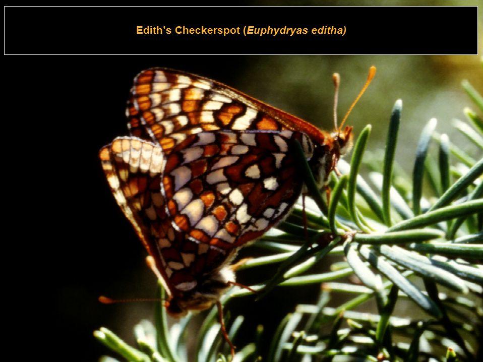 17 CIS oƒ HDGC Carnegie Mellon Edith's Checkerspot (Euphydryas editha)
