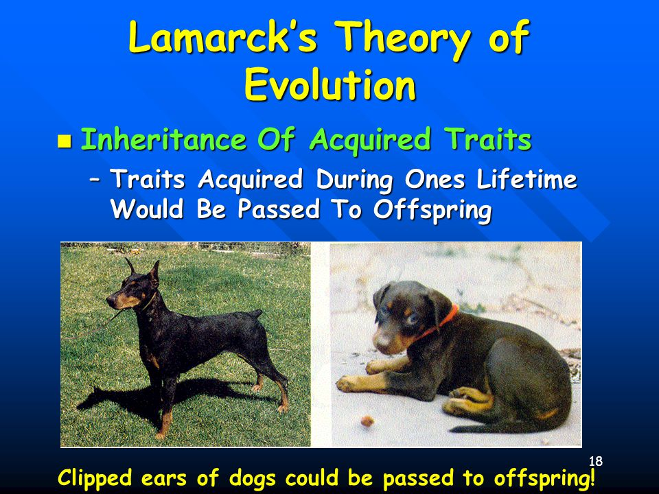 18 Lamarck's Theory of Evolution Inheritance Of Acquired Traits Inheritance Of Acquired Traits –Traits Acquired During Ones Lifetime Would Be Passed T