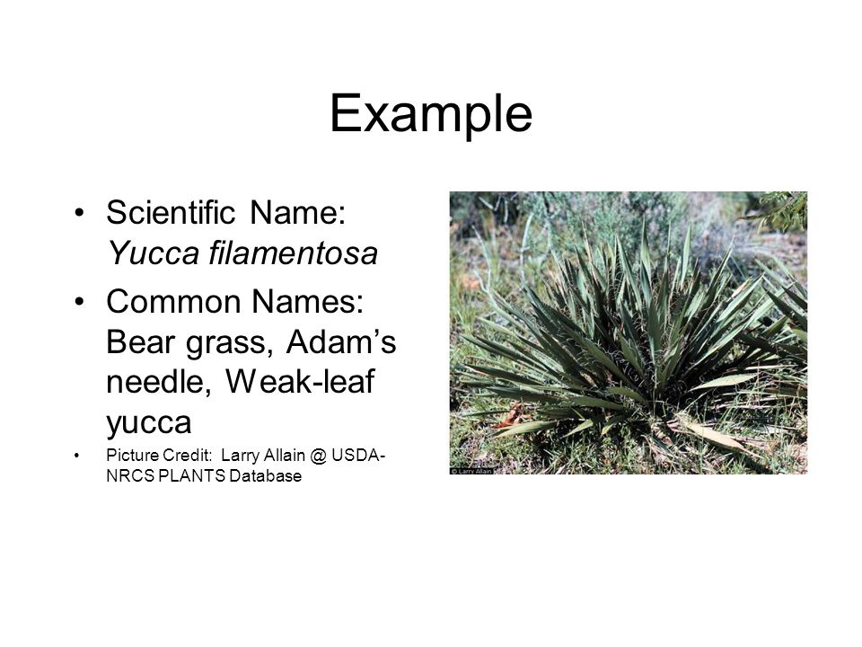 Example Scientific Name: Yucca filamentosa Common Names: Bear grass, Adam's needle, Weak-leaf yucca Picture Credit: Larry Allain @ USDA- NRCS PLANTS Database