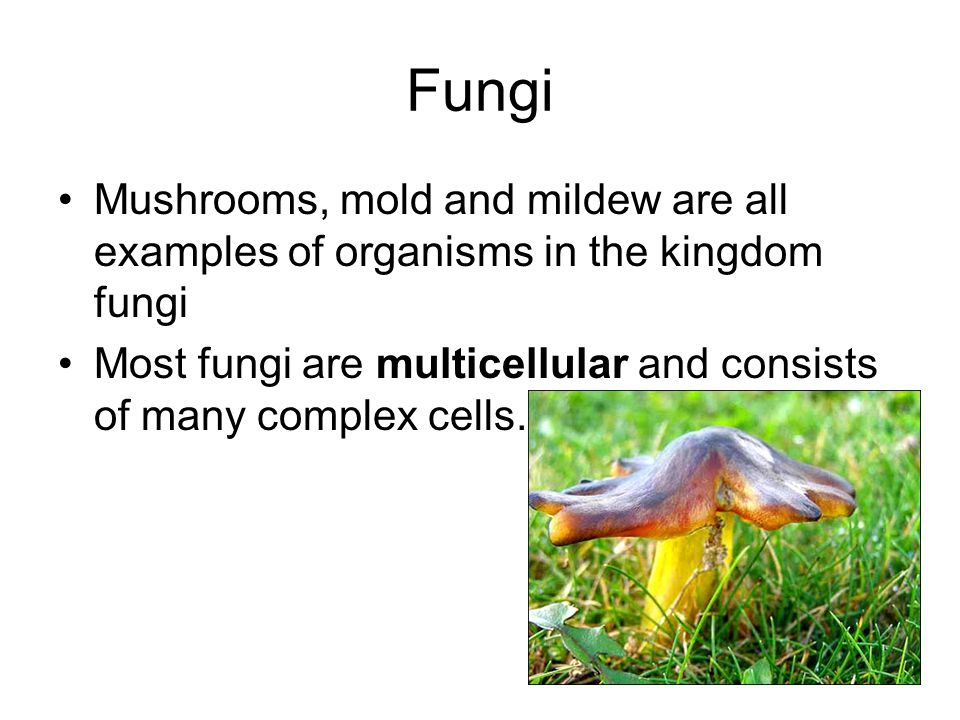 Fungi Mushrooms, mold and mildew are all examples of organisms in the kingdom fungi Most fungi are multicellular and consists of many complex cells.