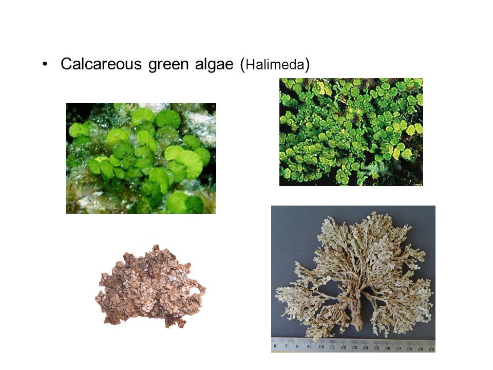 Calcareous green algae ( Halimeda )