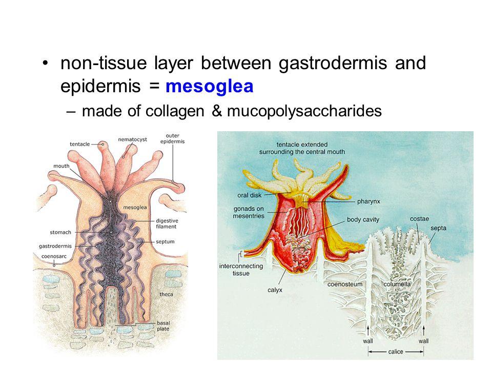 non-tissue layer between gastrodermis and epidermis = mesoglea –made of collagen & mucopolysaccharides