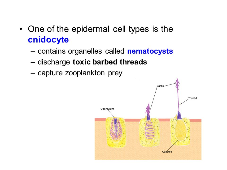One of the epidermal cell types is the cnidocyte –contains organelles called nematocysts –discharge toxic barbed threads –capture zooplankton prey