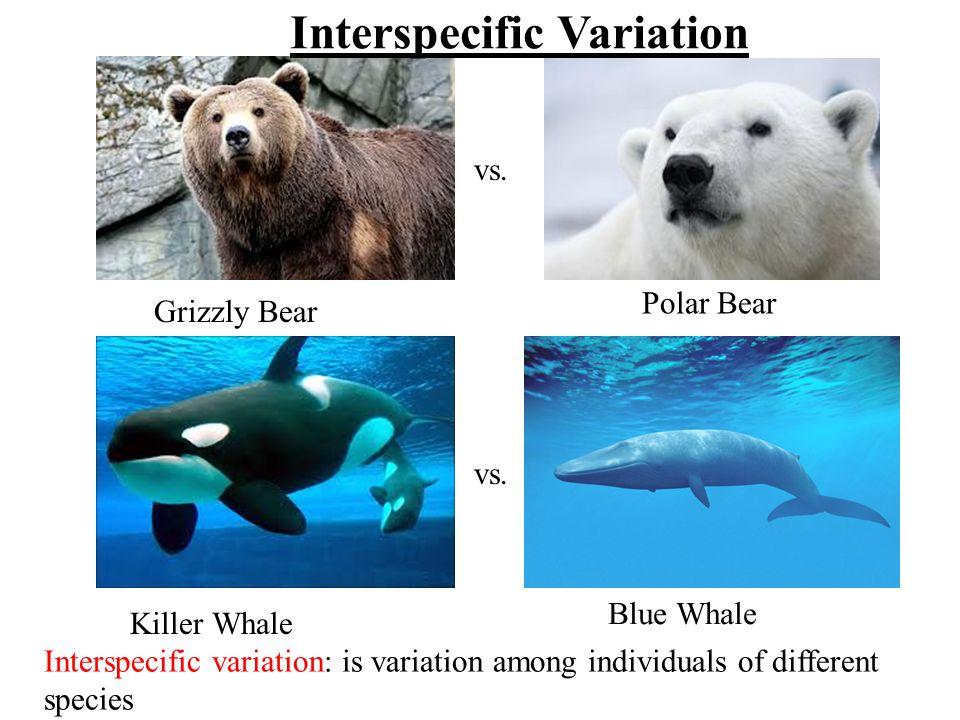 Grizzly Bear Polar Bear Killer Whale Blue Whale vs.