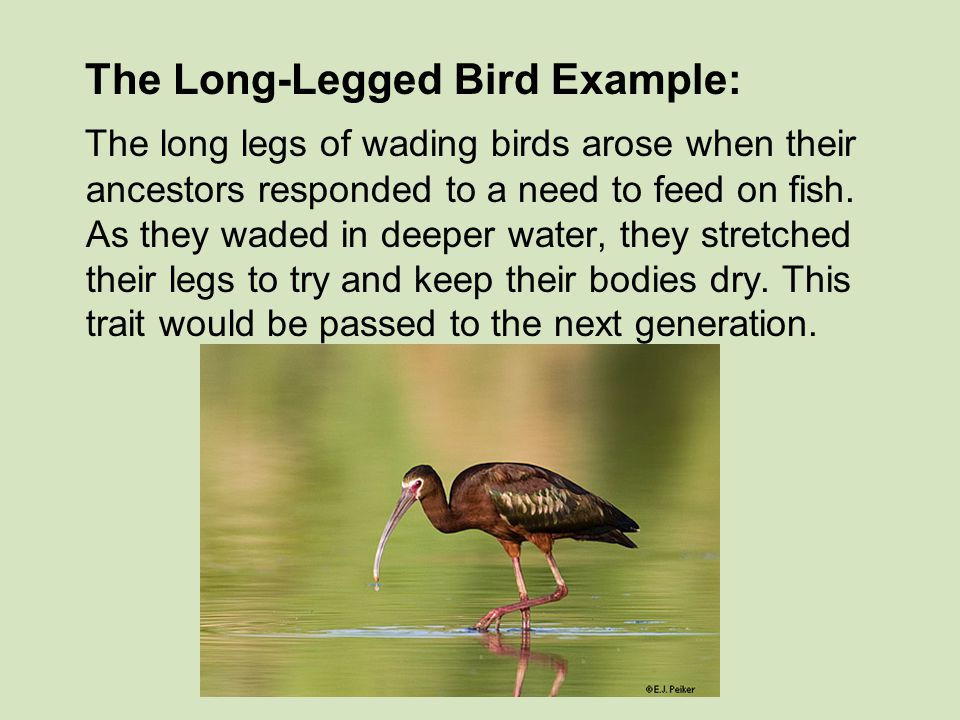 The Long-Legged Bird Example: The long legs of wading birds arose when their ancestors responded to a need to feed on fish. As they waded in deeper wa