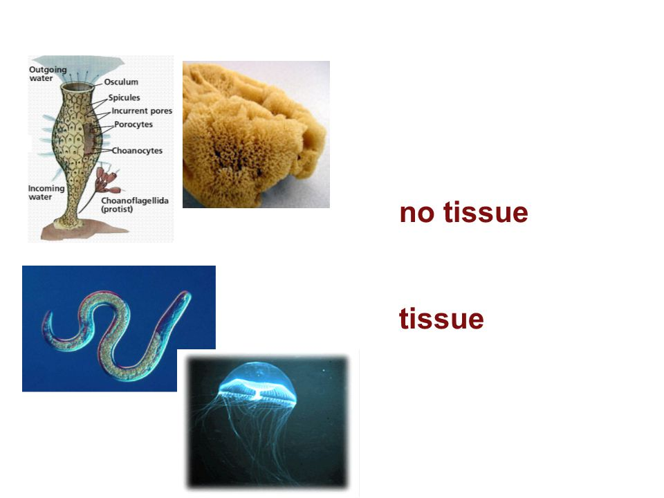 Tissue Organization 1. no tissue - no specialized fxn 2. tissue - specialization