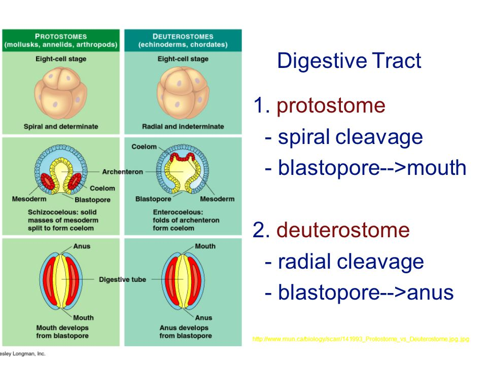 Digestive Tract 1. protostome - spiral cleavage - blastopore-->mouth 2.