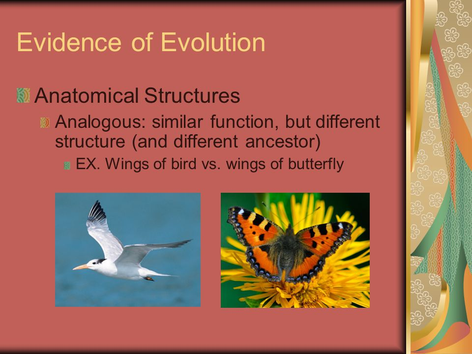 Evidence of Evolution Anatomical Structures Analogous: similar function, but different structure (and different ancestor) EX. Wings of bird vs. wings