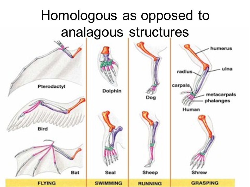 Homologous as opposed to analagous structures