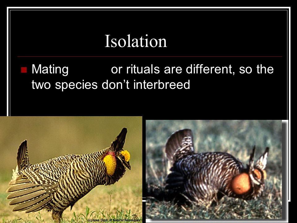 16-3 The Process of Speciation Speciation –the production of a new species Species – a group of individuals that reproduce in nature and produce fertile offspring Isolation – the factor that prevents the new species from reproducing with the ancestral species