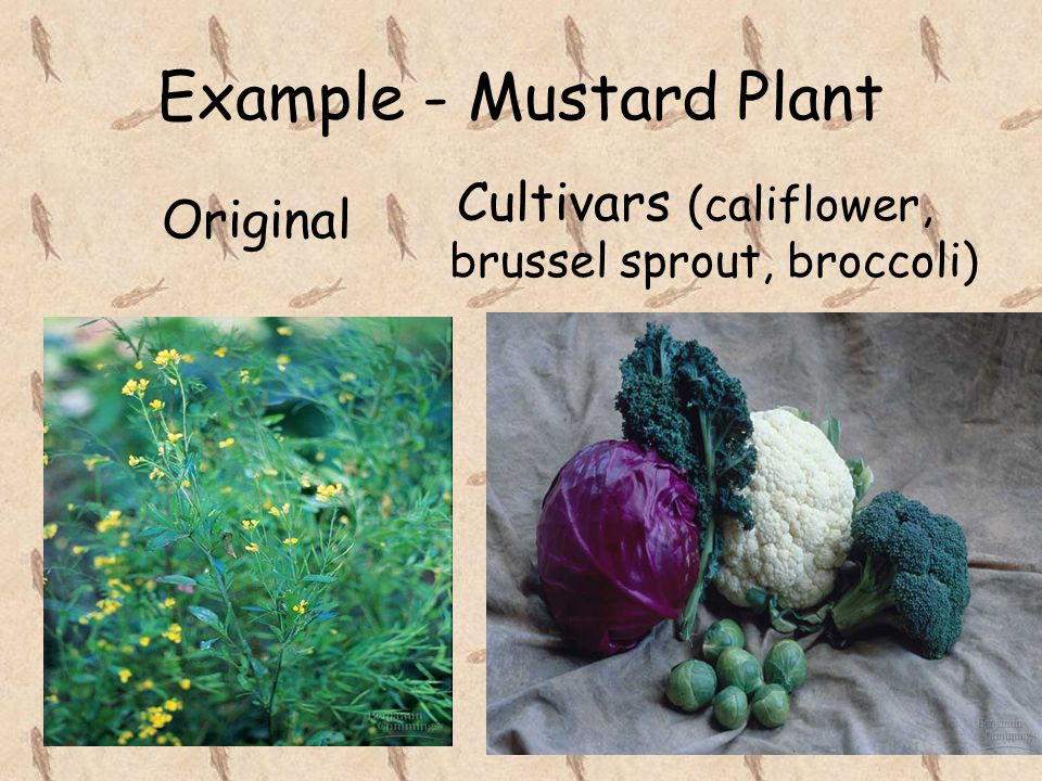 Example - Mustard Plant Original Cultivars (califlower, brussel sprout, broccoli)