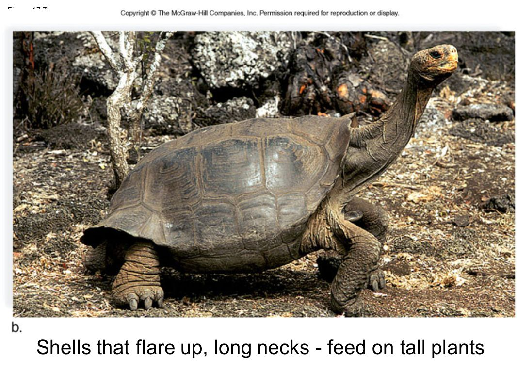 Figure 17.7b Shells that flare up, long necks - feed on tall plants