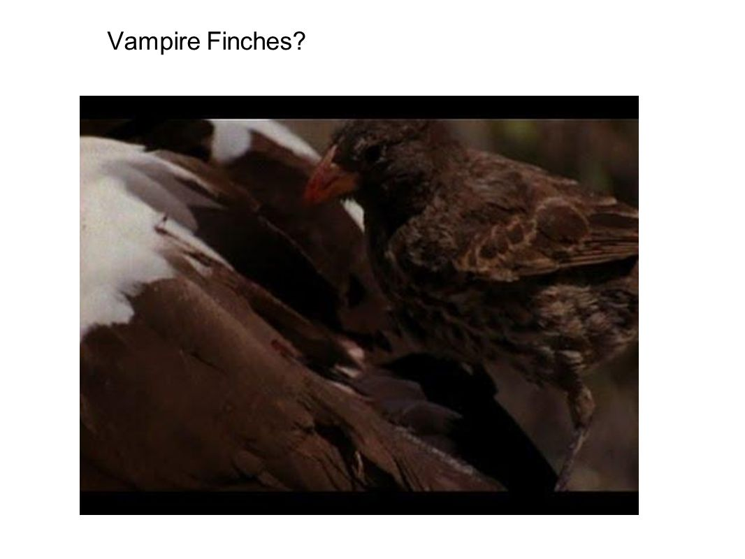 Vampire Finches