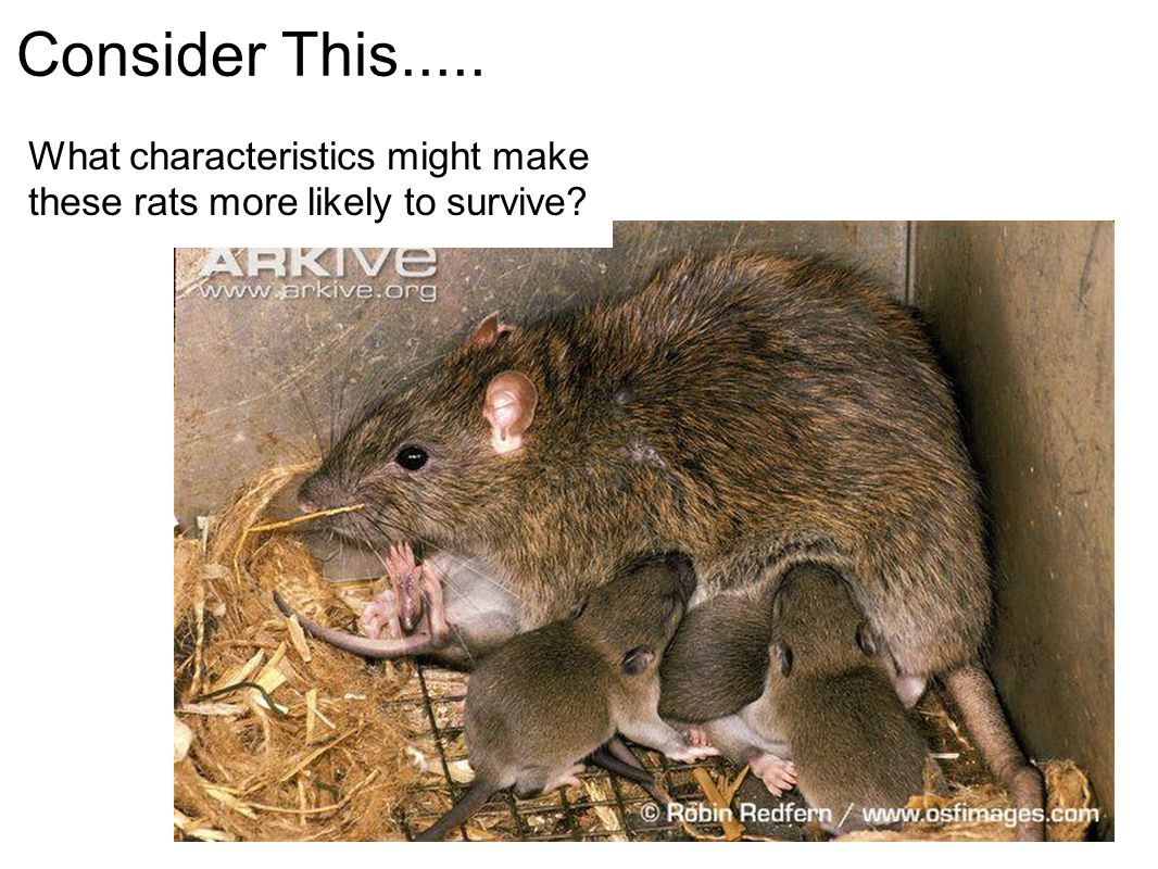 Consider This..... What characteristics might make these rats more likely to survive?