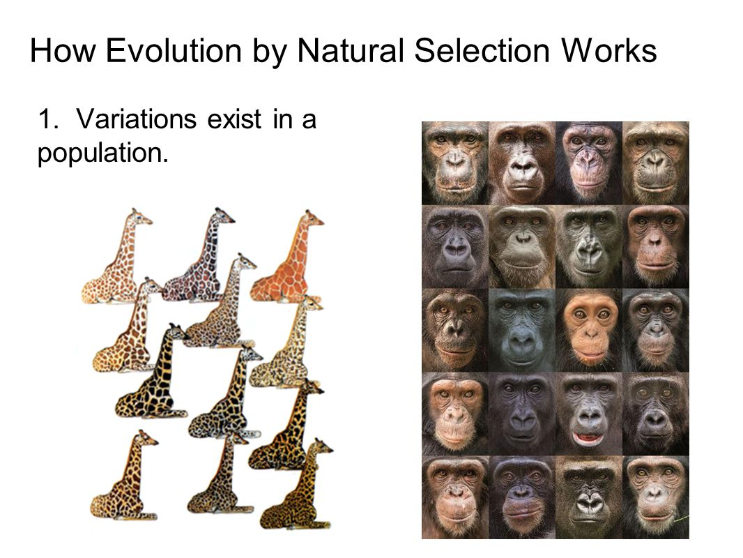 How Evolution by Natural Selection Works 1. Variations exist in a population.