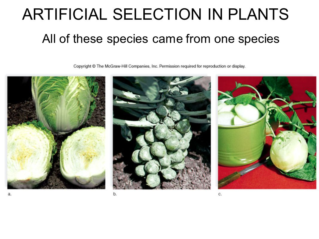 ARTIFICIAL SELECTION IN PLANTS All of these species came from one species