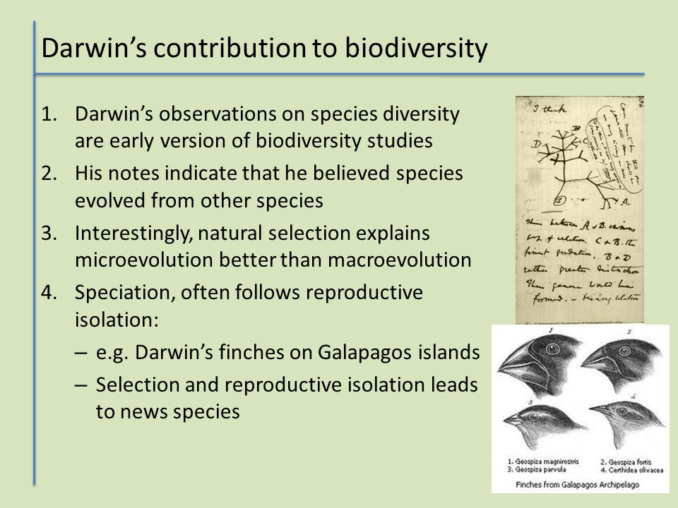 Darwin's contribution to biodiversity 1.Darwin's observations on species diversity are early version of biodiversity studies 2.His notes indicate that he believed species evolved from other species 3.Interestingly, natural selection explains microevolution better than macroevolution 4.Speciation, often follows reproductive isolation: – e.g.