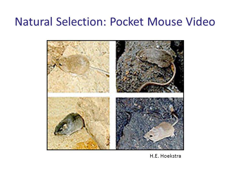 Natural Selection: Pocket Mouse Video H.E. Hoekstra