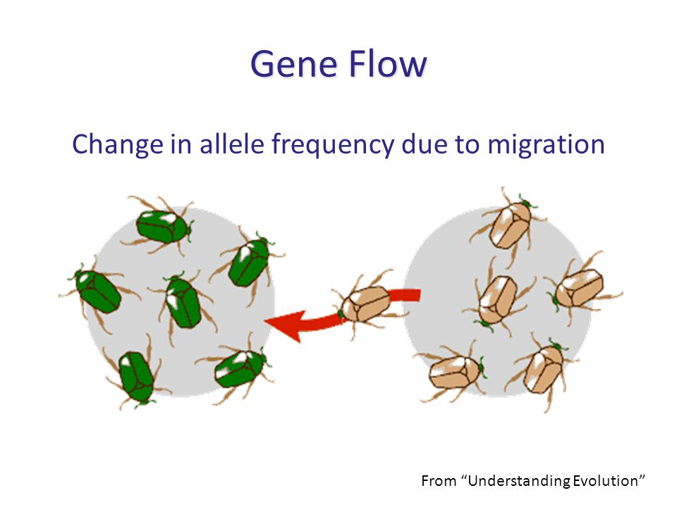 "Change in allele frequency due to migration Gene Flow From ""Understanding Evolution"""
