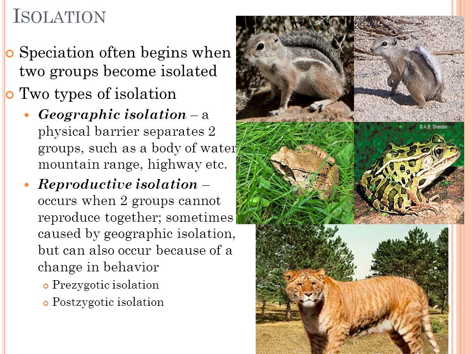 I SOLATION Speciation often begins when two groups become isolated Two types of isolation Geographic isolation – a physical barrier separates 2 groups