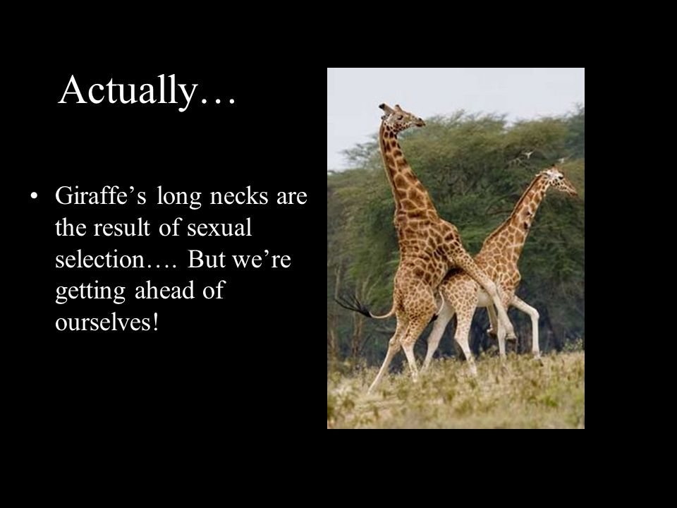 Actually… Giraffe's long necks are the result of sexual selection….