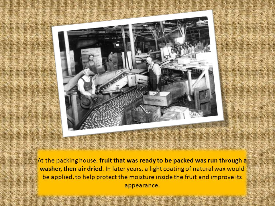 From the moment the fruit entered the packing houses, it was being sorted for quality and size.