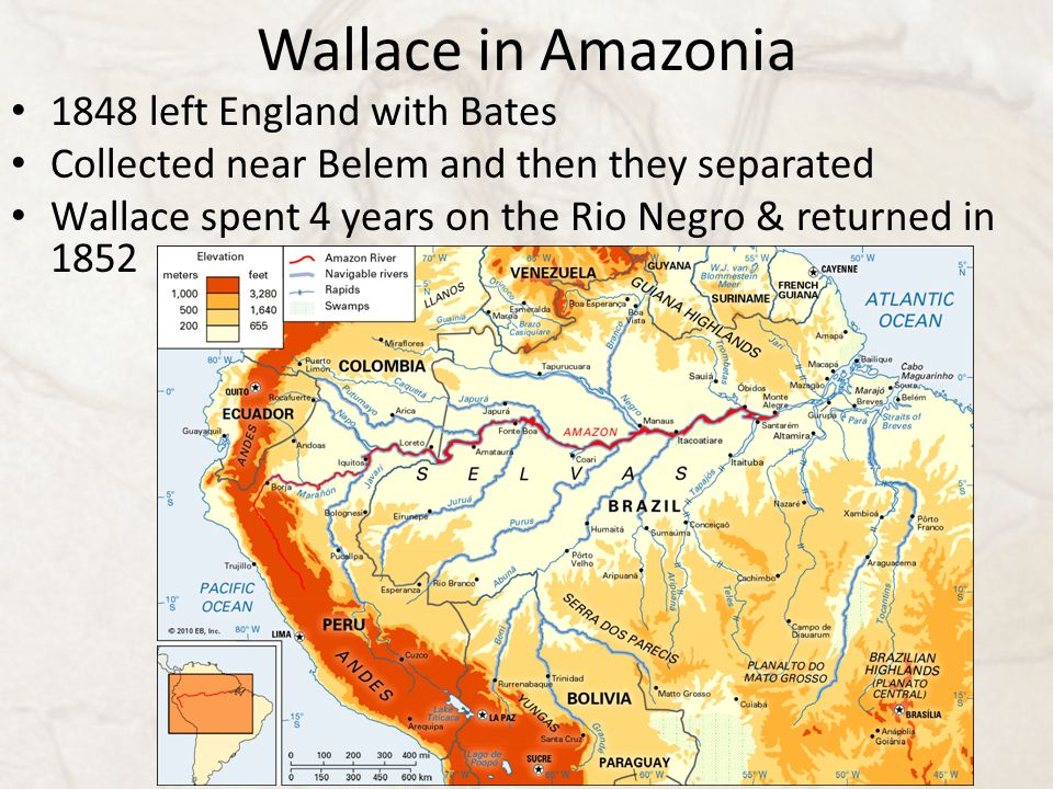 Wallace in Amazonia 1848 left England with Bates Collected near Belem and then they separated Wallace spent 4 years on the Rio Negro & returned in 1852