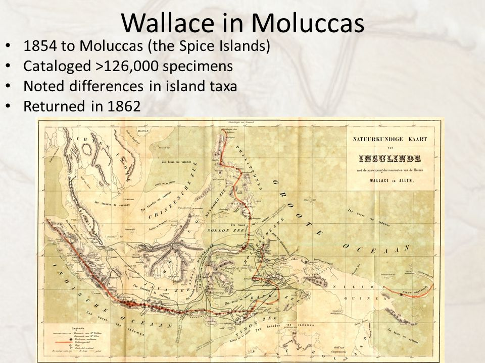 Wallace in Moluccas 1854 to Moluccas (the Spice Islands) Cataloged >126,000 specimens Noted differences in island taxa Returned in 1862