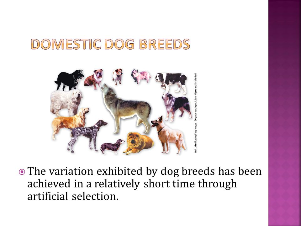  The variation exhibited by dog breeds has been achieved in a relatively short time through artificial selection.