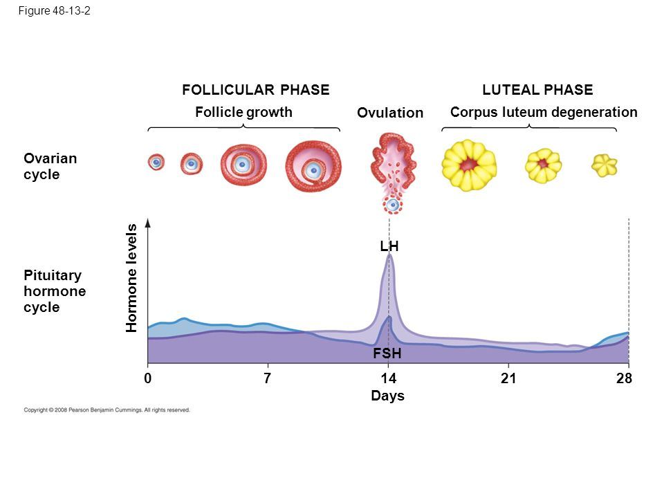Figure 48-13-2 Ovulation Pituitary hormone cycle Ovarian cycle Follicle growth FOLLICULAR PHASE Corpus luteum degeneration LUTEAL PHASE FSH LH Hormone levels Days 07142128
