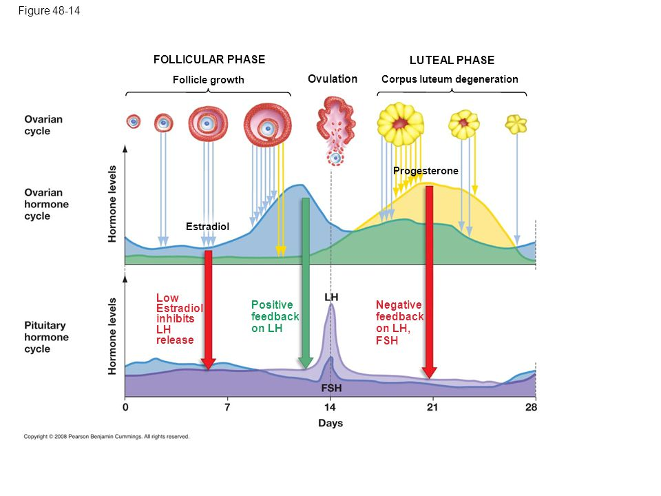 Figure 48-14 Ovulation Follicle growth FOLLICULAR PHASE Corpus luteum degeneration LUTEAL PHASE Estradiol Progesterone Low Estradiol inhibits LH release Positive feedback on LH Negative feedback on LH, FSH