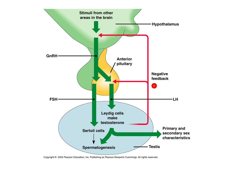 HPG axis & Reproductive System Males Females