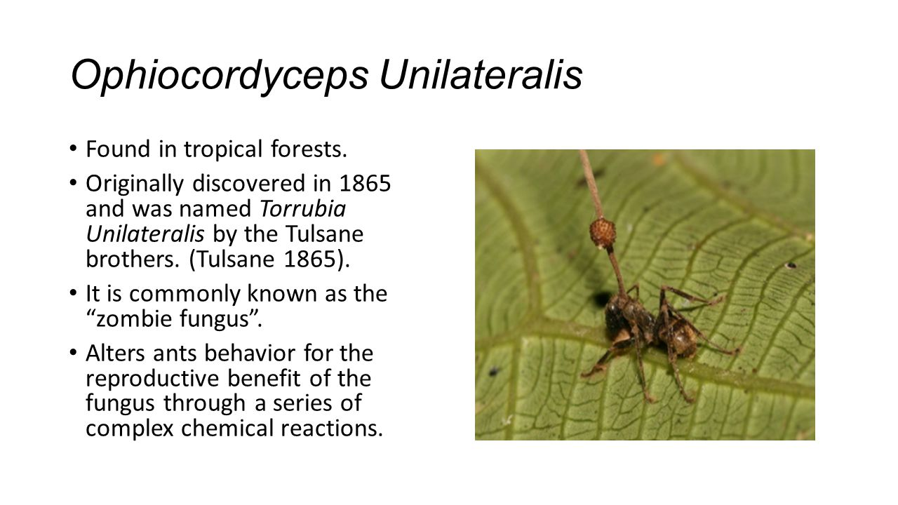 Ophiocordyceps Unilateralis Found in tropical forests. Originally discovered in 1865 and was named Torrubia Unilateralis by the Tulsane brothers. (Tul