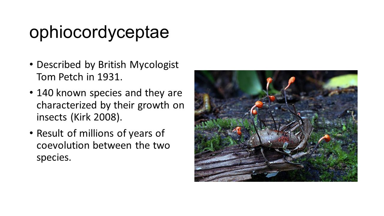 ophiocordyceptae Described by British Mycologist Tom Petch in 1931. 140 known species and they are characterized by their growth on insects (Kirk 2008
