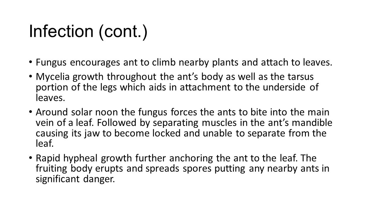 Infection (cont.) Fungus encourages ant to climb nearby plants and attach to leaves. Mycelia growth throughout the ant's body as well as the tarsus po