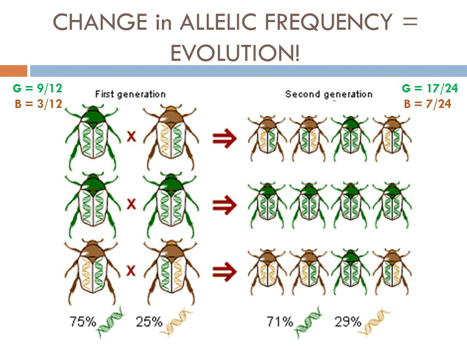 CHANGE in ALLELIC FREQUENCY = EVOLUTION! G = 9/12 B = 3/12 G = 17/24 B = 7/24