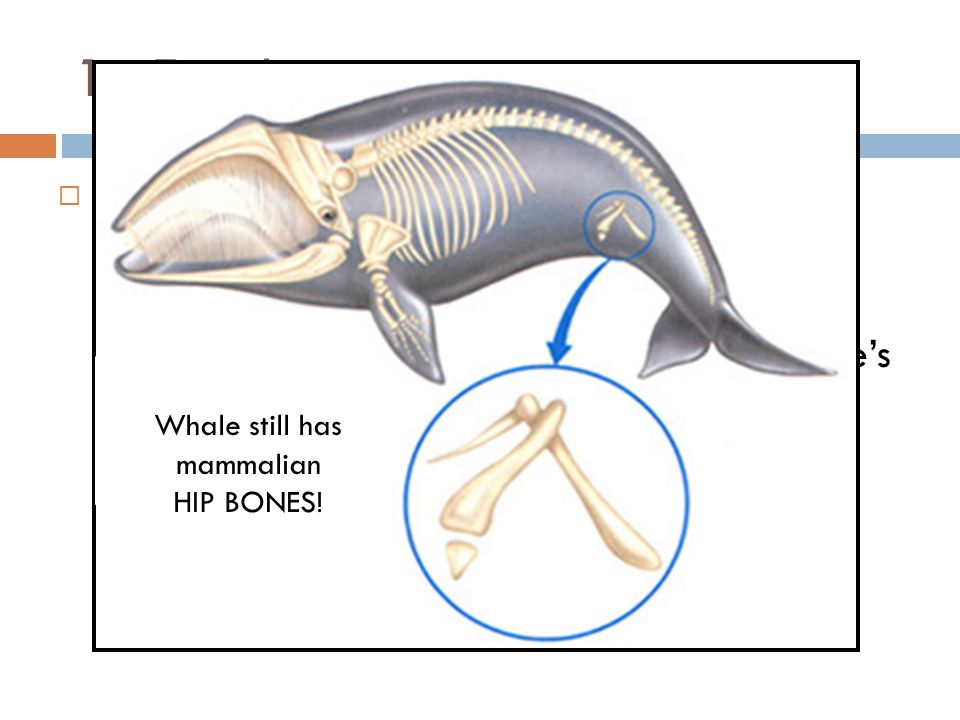 1.Fossils  Important pieces of evidence for evolution because it provides record of early life and evolutionary history  Paleontologists gathered evidence of whale's ancestors and believe they were land- dwelling, dog-like animals Whale still has mammalian HIP BONES!