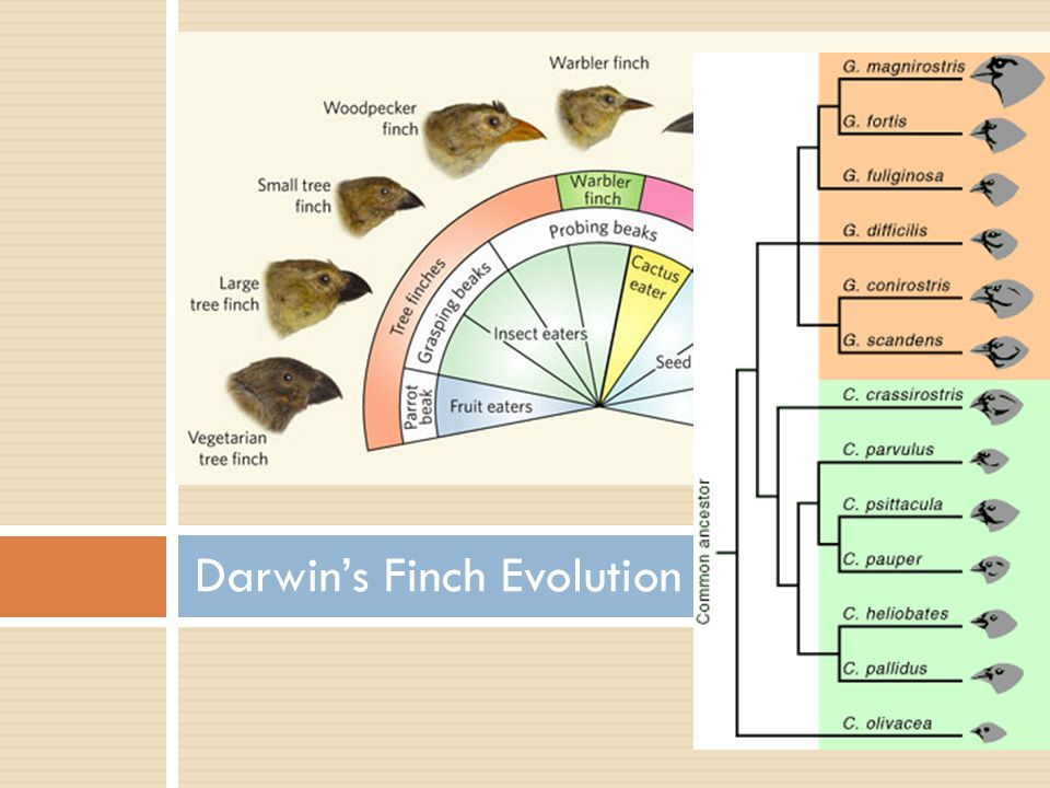Darwin's Finch Evolution