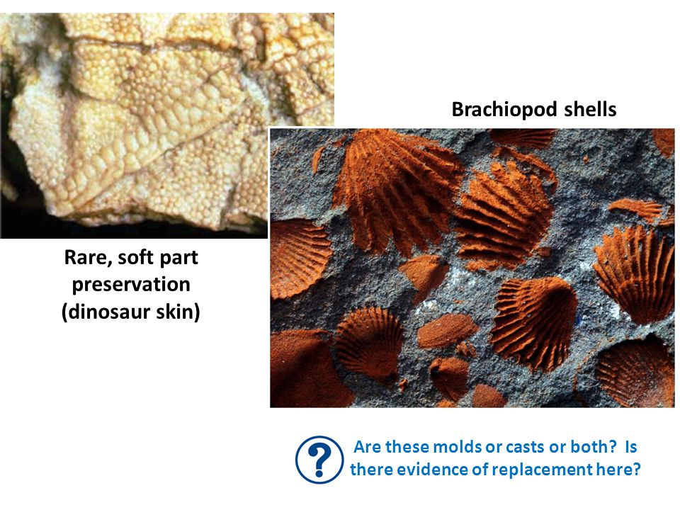 Brachiopod shells Are these molds or casts or both? Is there evidence of replacement here? Rare, soft part preservation (dinosaur skin)