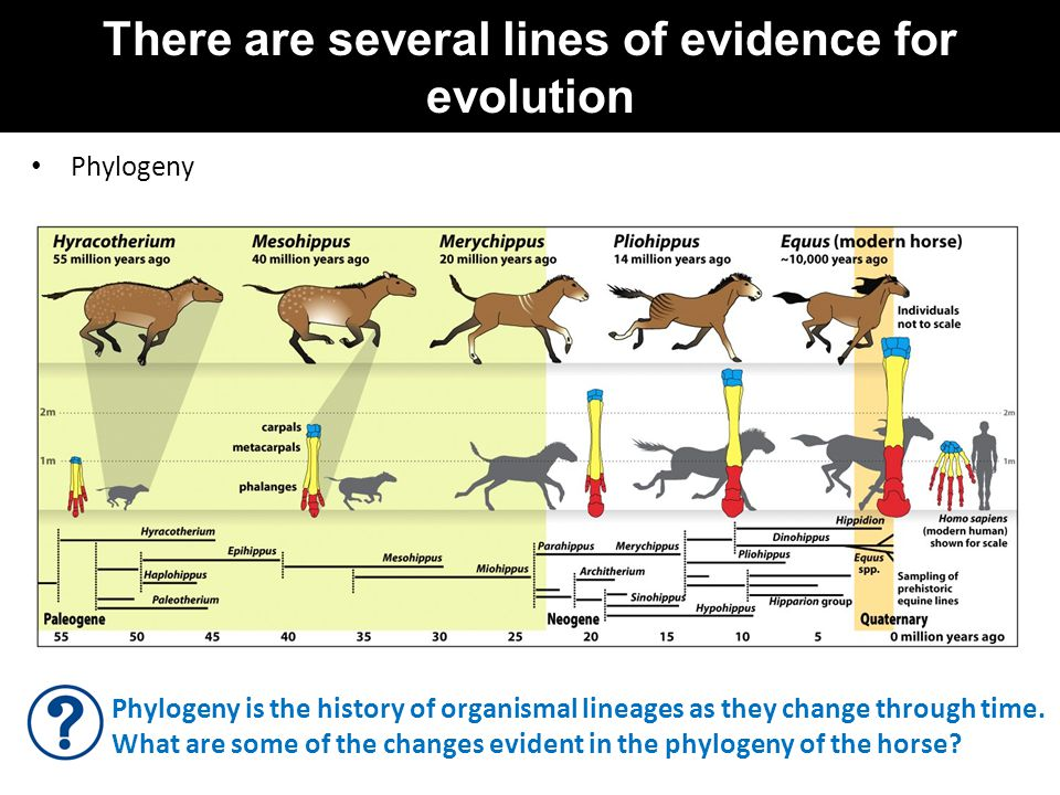 There are several lines of evidence for evolution Phylogeny Phylogeny is the history of organismal lineages as they change through time. What are some