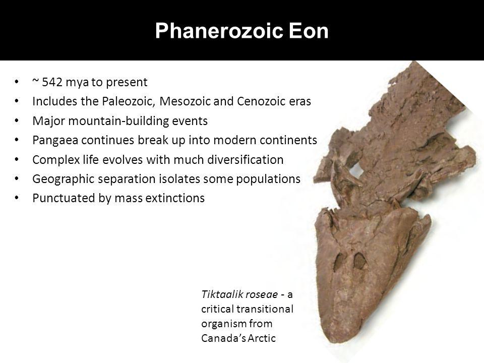 Phanerozoic Eon ~ 542 mya to present Includes the Paleozoic, Mesozoic and Cenozoic eras Major mountain-building events Pangaea continues break up into