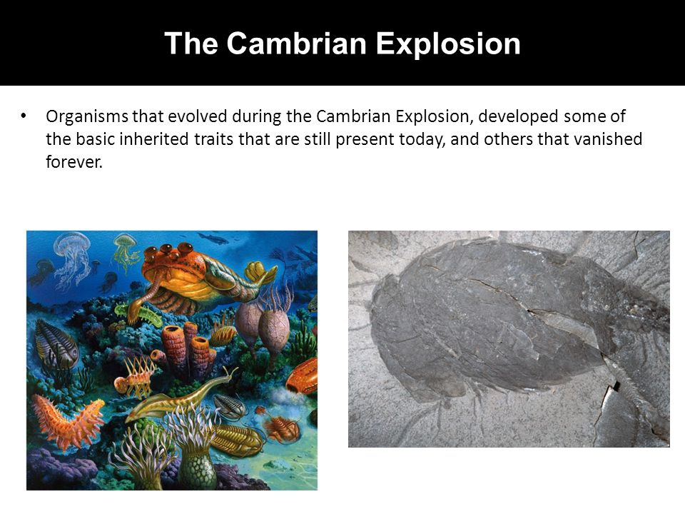 The Cambrian Explosion Organisms that evolved during the Cambrian Explosion, developed some of the basic inherited traits that are still present today