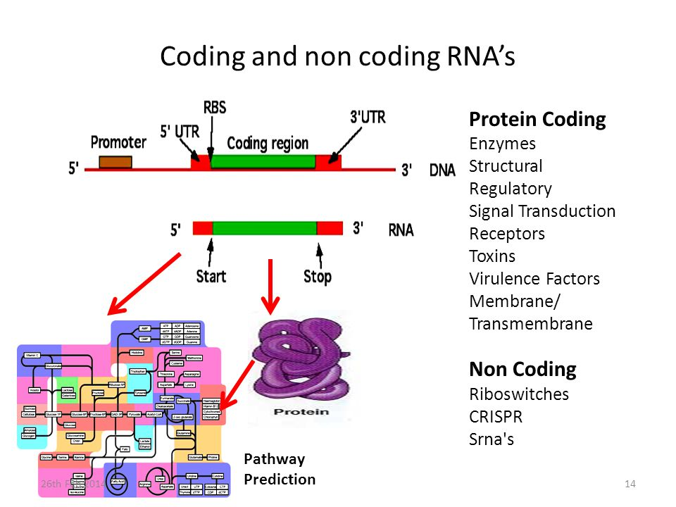 Coding and non coding RNA's Protein Coding Enzymes Structural Regulatory Signal Transduction Receptors Toxins Virulence Factors Membrane/ Transmembrane Non Coding Riboswitches CRISPR Srna s Pathway Prediction 26th Feb 201414