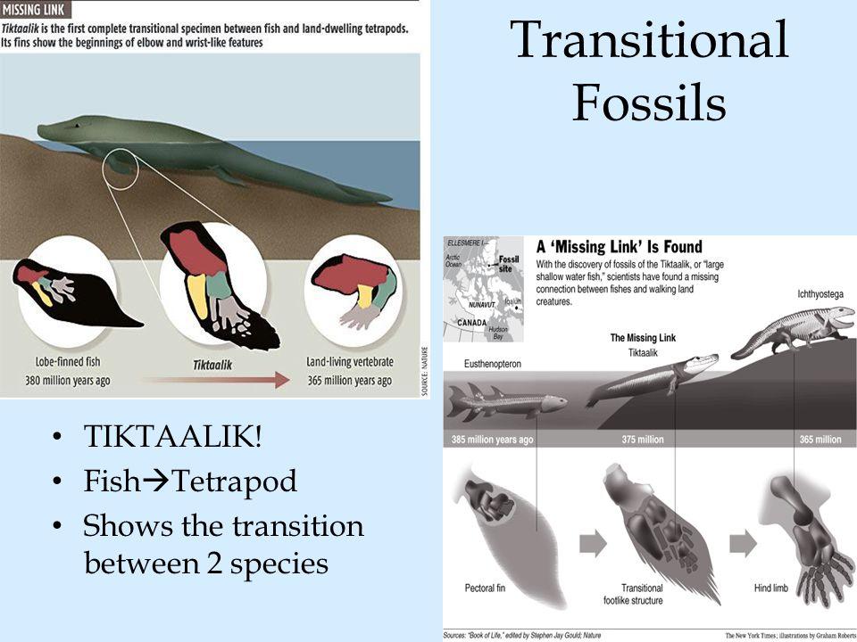 Transitional Fossils TIKTAALIK! Fish  Tetrapod Shows the transition between 2 species