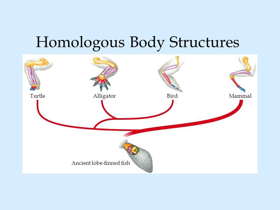 TurtleAlligatorBirdMammal Ancient lobe-finned fish Homologous Body Structures