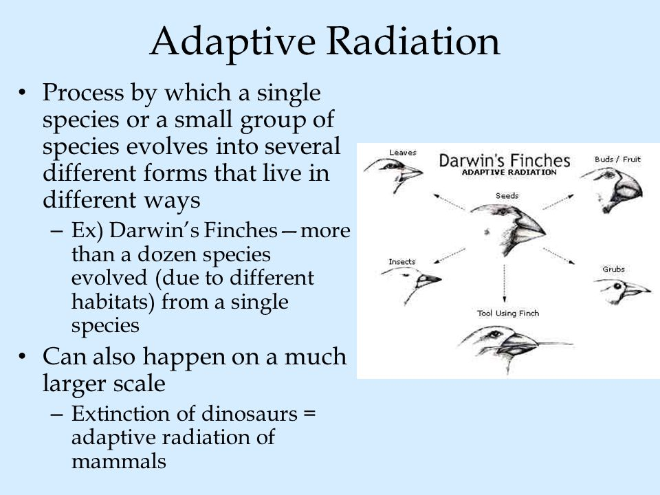 Adaptive Radiation Process by which a single species or a small group of species evolves into several different forms that live in different ways – Ex