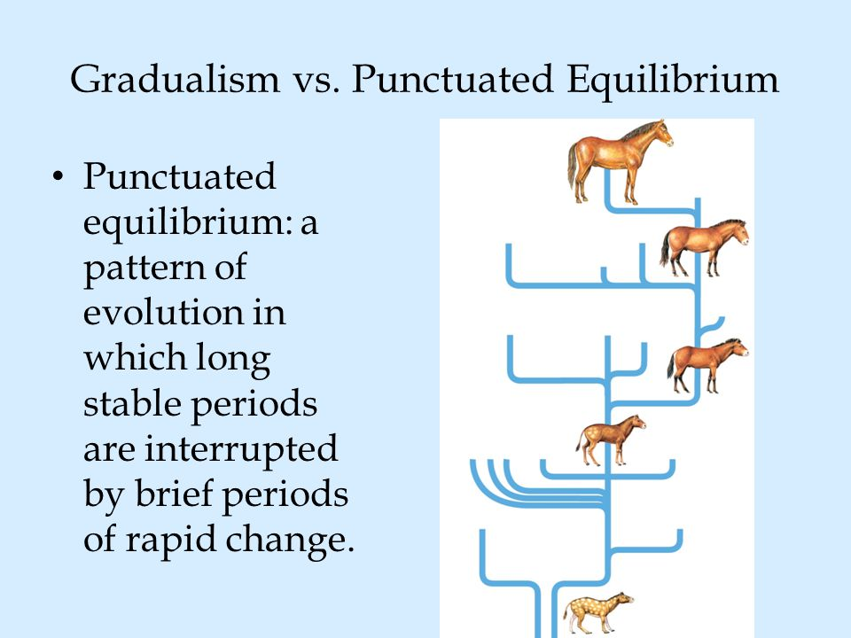 Gradualism vs. Punctuated Equilibrium Punctuated equilibrium: a pattern of evolution in which long stable periods are interrupted by brief periods of